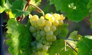 Weinlese beginnt in Sachsen