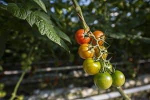 Tomaten und Gurken mit Frühlingsgefühlen