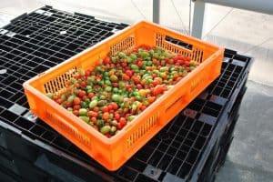 Sorgfalt bei der Tomatenernte – von der Ernte bis zum Handel