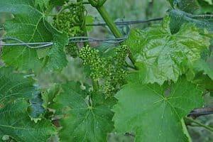 Rebblüte lässt frühe Weinlese erwarten