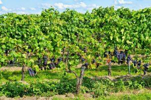 Ferien im Rebenland – Winzer bieten Wohnmobil-Stellplätze an