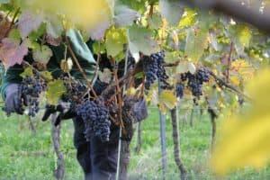 Auch 2020 wieder wieder Spitzenweine vom Thonberg aus Laubach