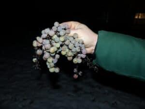 Winzer Meissen: Cabernet Blanc wird frostige Spezialität