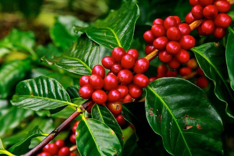 coffee beans 1650788 1280 768x512